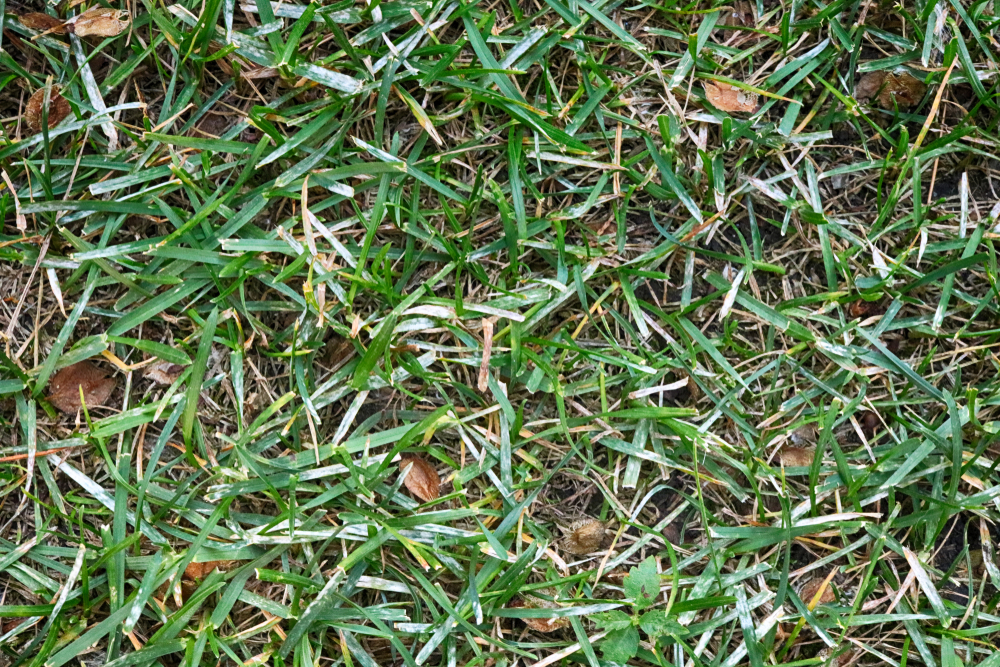 Image of powdery mildew disease on grass