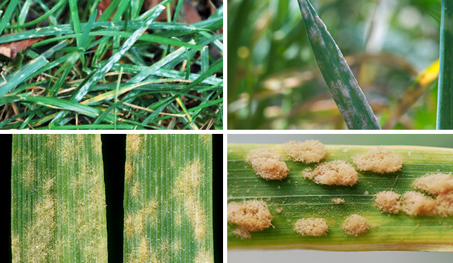 Image montage of powdery mildew