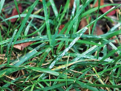 Image of powdery mildew on lawn turf