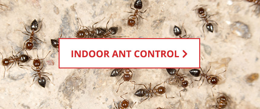 Indoor Ant Control