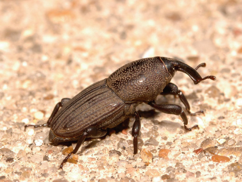 Image of an adult billbug