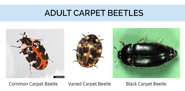Color - Adult Carpet Beetles