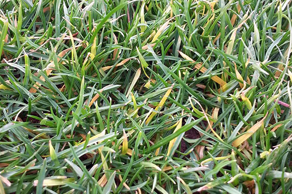 Image of anthracnose in lawn