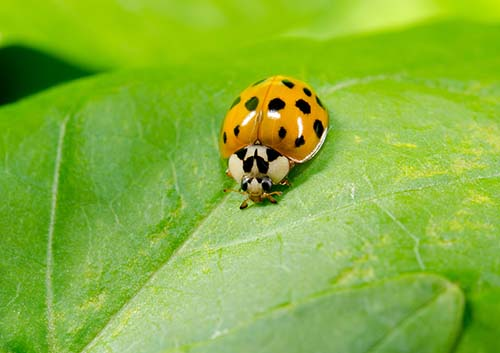 An image showing an Asian Lady Beetle on a leaf