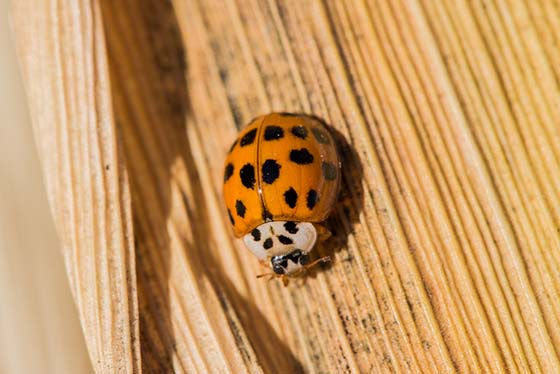 An image of a close up shot of an Asian Lady Beetle