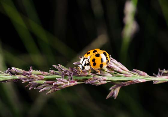An image of an Asian Lady Beetle on a plant