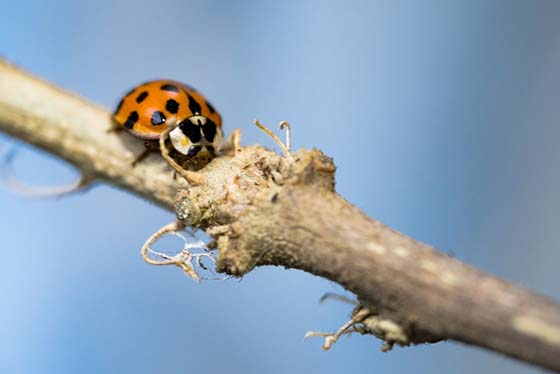 An image of an Asian Lady Beetle on a stick.