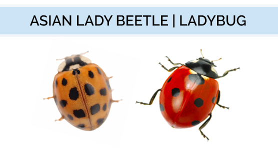 A diagram showing the difference in appearance between an Asian Lady Beetle and a Lady Bug