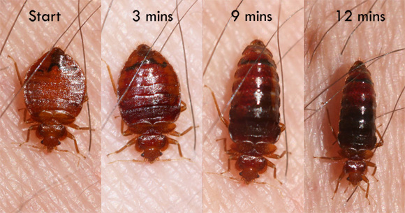 Bed Bug Behavior & Habits - What Do Bed Bugs Do?