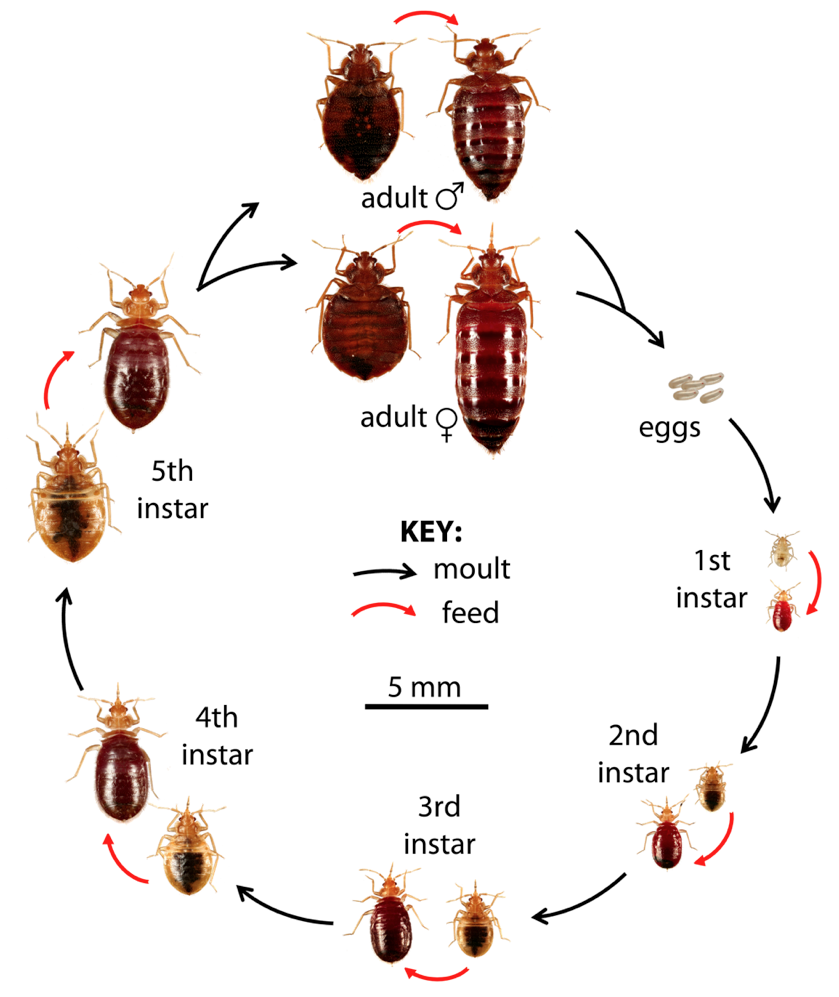 What Do Bed Bugs Look Like How To Identify Bed Bugs