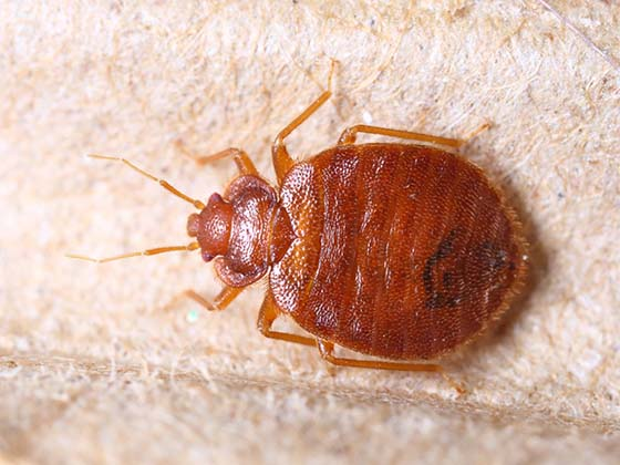 An image of a bed bug up close