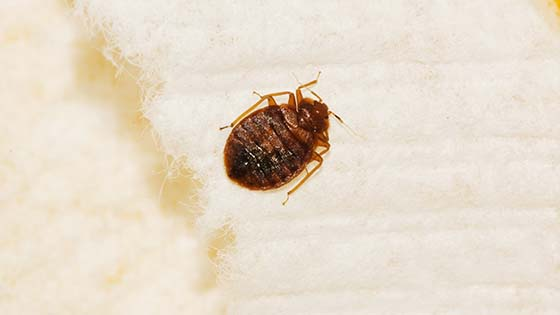 Fine How To Check For Bed Bugs Your Step By Step Diy Guide Ocoug Best Dining Table And Chair Ideas Images Ocougorg
