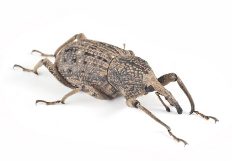 Image of a billbug