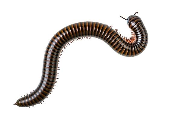 Image of a millipede