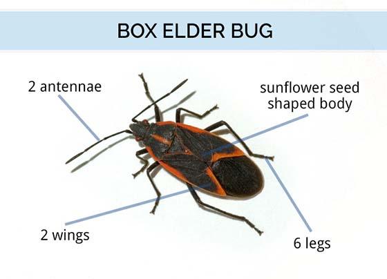 What do Boxelder Bugs Look Like? | Boxelder Bug Identification Guide