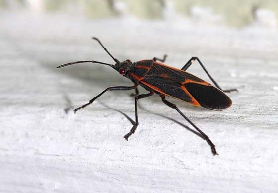 Image of a boxelder bug on wood