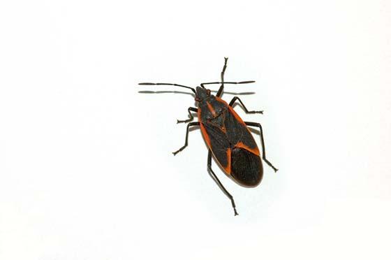 Image of an isolated boxelder bug