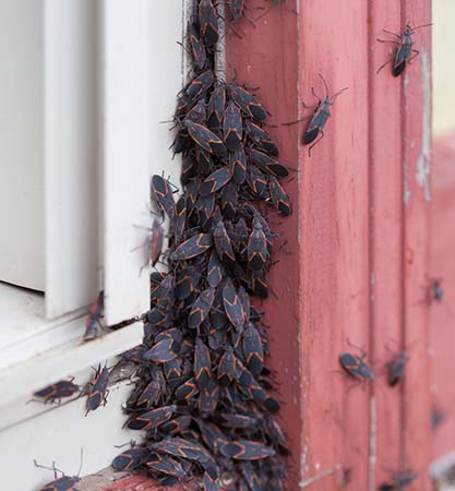 Image of a cluster of boxelder bugs on a window frame