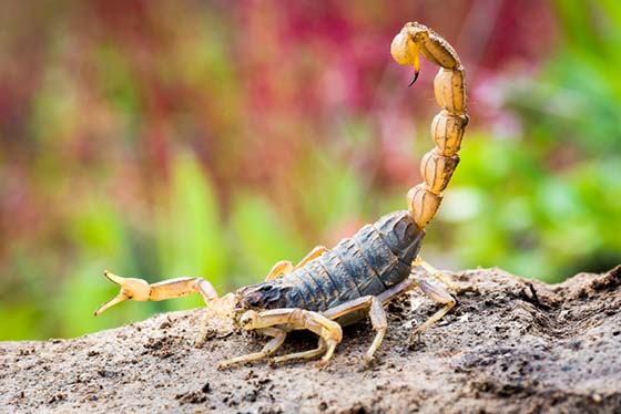 Image of a scorpion with tail raised