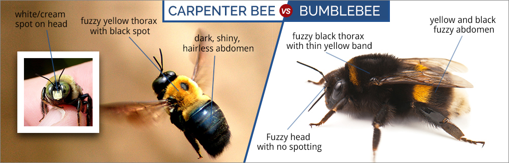 A graphic comparing the carpenter and the bumblebee