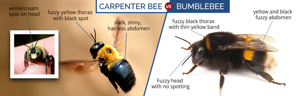 What Do Carpenter Bees Look Like Carpenter Bee Identification Guide