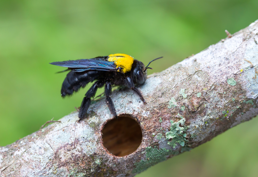 An image of a carpenter bee on a branch above a nest hole