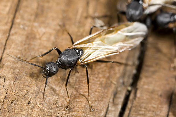 An image of a winged carpenter ant feeding on wood