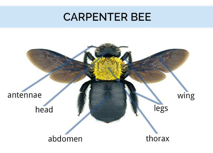 What Do Carpenter Bees Look Like | Carpenter Bee Identification Guide