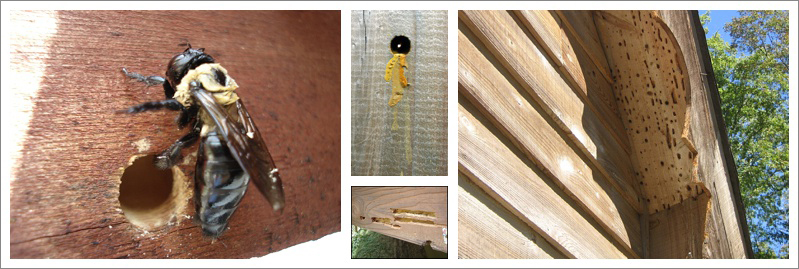 A graphic showing various images of carpenter bee damage