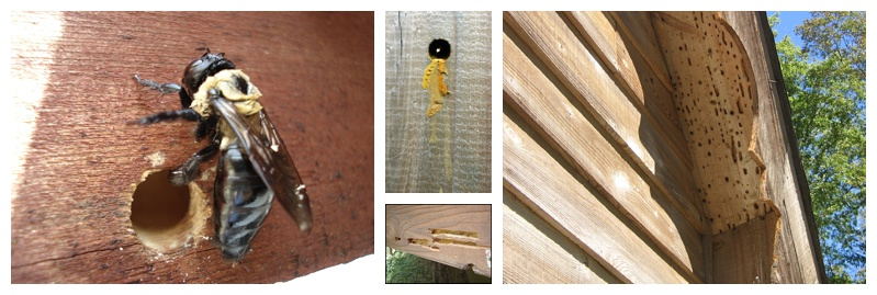 Carpenter Bees Can Infest Most Wooden Elements Of The Exterior Your Home Or Structure It Is Easiest To Inspect These Areas During Day