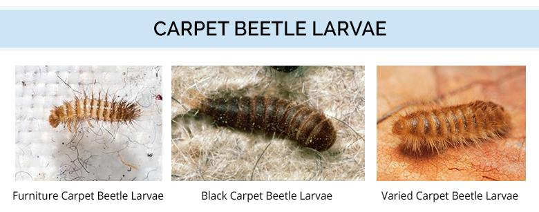 Color - Carpet Beetle Larvae