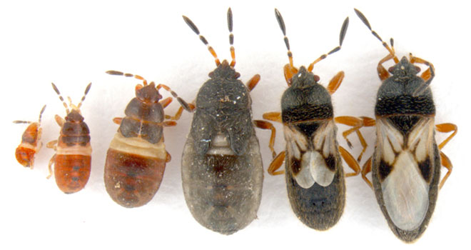 Graphic showing the life cycle of a chinch bug