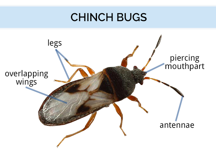 Graphic showing the anatomy on a chinch bug
