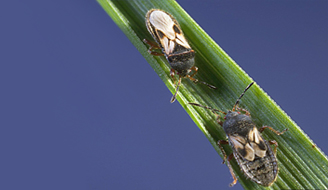 Image of chinch bugs on a blade of grass