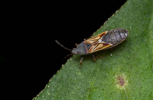 Image of a chinch bug on a leaf