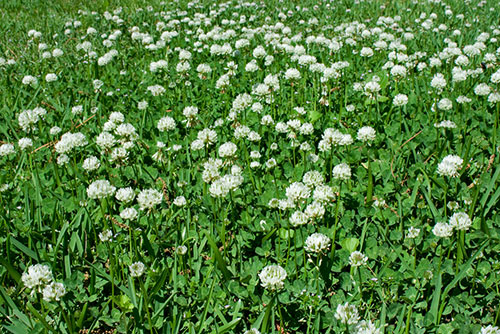 Image of a yard full of clover