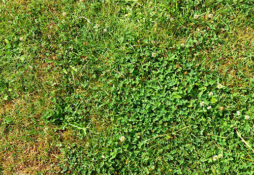 Is clover a weed what does it look like clover identification guide yes clover is a weed mightylinksfo