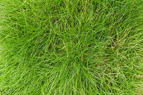 How To Care For Fescue Grass
