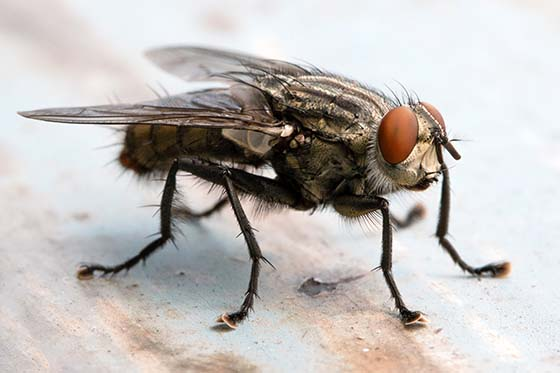 How To Get Rid Of Cluster Flies Cluster Fly Control Guide Do My Own