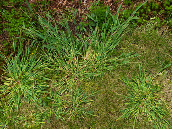 Image of a lawn full of crabgrass