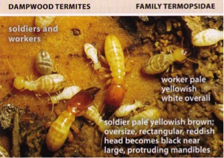 All About Termites Facts Life Cycle Reproduction
