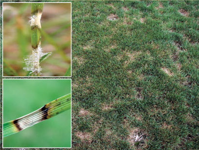 Image montage of dollar spot fungus