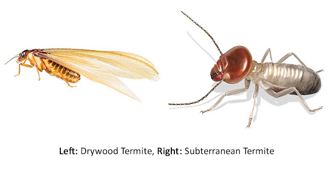 What Do Drywood Termites Look Like Drywood Termite Identification