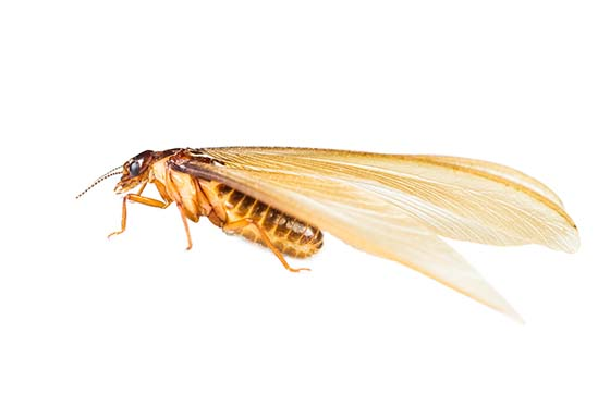Image of a winged drywood termite