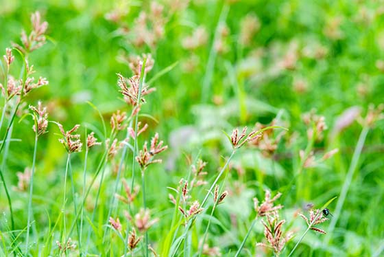 Image of nutsedge in a lawn