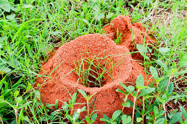 Image showing large fire ant mound in grass