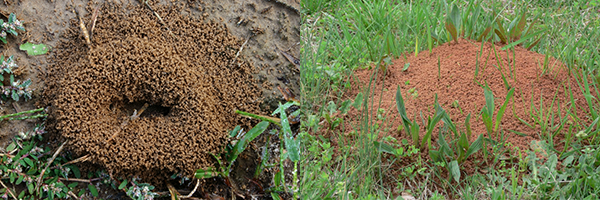 Image showing fire ant mounds
