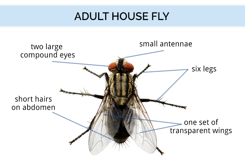 Fly Identification Types Of Flies House Fly Anatomy Life Cycle