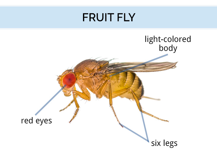 Graphic showing the anatomy of a fruit fly