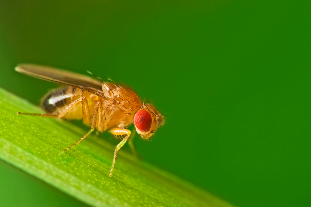Image of a fruit fly sitting on a leaf